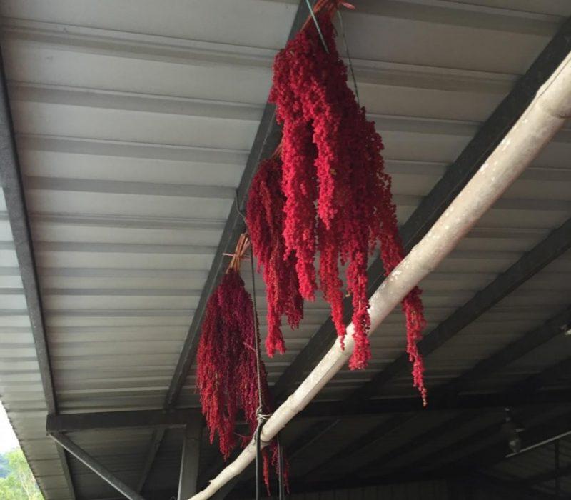 red-quinoa-Taiwan-3